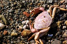 Free Big Crab On A Beach Stock Image - 5596131