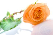 Free One Orange Rose Laying Royalty Free Stock Photography - 5596677