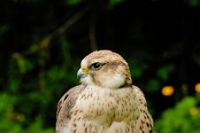 Free Prairie Falcon Stock Images - 5597274