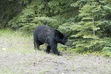 Free Black Bear Royalty Free Stock Image - 5598016