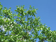 Free Tree Leafs On Sky Royalty Free Stock Images - 5598539