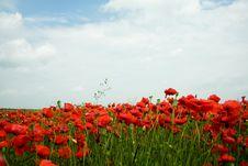 Free Poppy-field Stock Photos - 5598783