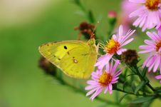 Free Yellow Butterfly Royalty Free Stock Image - 5598806