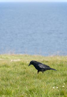 Free Black Bird Stock Photography - 5599942