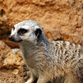 Free Slender-tailed Meerkat  1 Royalty Free Stock Images - 564379
