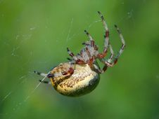 Free Spider Of Family Argiopidae. Royalty Free Stock Photography - 560337