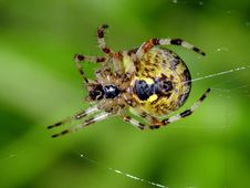 Free Spider Of Family Argiopidae. Royalty Free Stock Photos - 560338