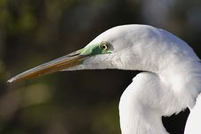 Free Egret Royalty Free Stock Photos - 560558