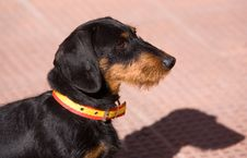 Free Dachshund Stock Photo - 560580