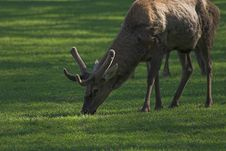 Free Deer Stock Image - 560611