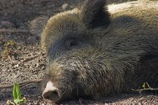 Free Wild Boar Stock Images - 560614