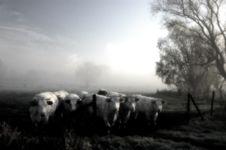 Misty Cows Stock Photos
