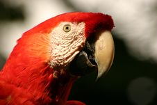 Free Red Macaw Stock Photo - 560830