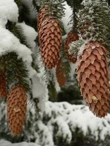Free Fir Cones Royalty Free Stock Photography - 560877