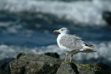 Free Seagull Looking At The Waves Stock Photos - 561403