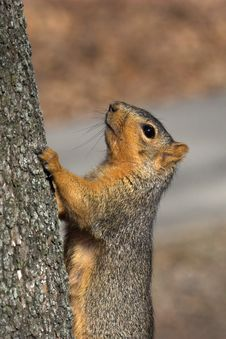 Free Squirrel Royalty Free Stock Photo - 561595