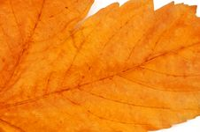Free Red Leaf Royalty Free Stock Photography - 561737