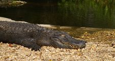 Free Gator Stock Photography - 561952
