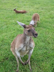 Free Kangaroos Stock Photos - 562023