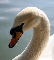 Classic Swan Stock Photo