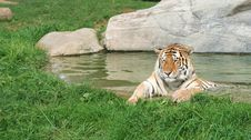 Free Siberian Tiger Stock Photos - 562123