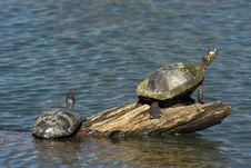 Free Turtles Crawling At Log Stock Images - 562134