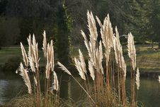 Free Pampas Grass Stock Photo - 562830