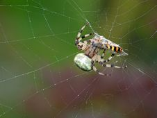 Spider And A Victim. Stock Photography