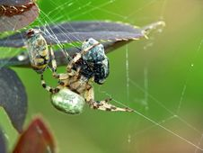Spider And A Victim. Stock Images