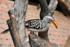 Free Hornbill Royalty Free Stock Photography - 563807