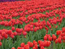 Free Tulips1 Royalty Free Stock Photos - 563958