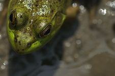 Free Bull Frog Head Royalty Free Stock Photography - 564037
