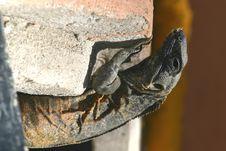 Free Iguana Royalty Free Stock Images - 564139
