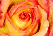 Free Orange Rose Stock Photography - 564232
