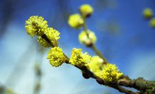 Free Willow Catkin Royalty Free Stock Images - 564459