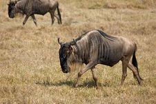 Free Animals 070 Wildebeest Royalty Free Stock Images - 564799