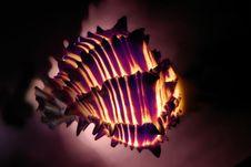 Free Seashell Hexaplex Stock Image - 564921