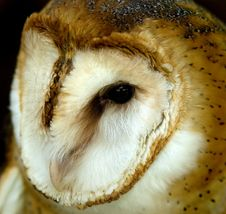 Free Barn Owl Royalty Free Stock Images - 564949