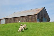 Free Sheep And Barn Royalty Free Stock Photos - 565078