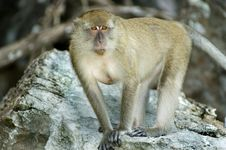 Free Monkey3 Royalty Free Stock Photography - 565657
