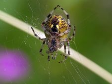 Free Spider Of Family Argiopidae. Stock Photography - 565762