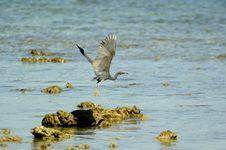 Free Heron1 Royalty Free Stock Photography - 565797