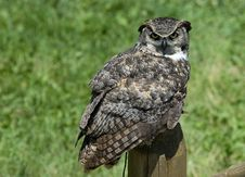 Free Owl Royalty Free Stock Photography - 566017