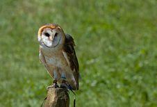 Free Barn Owl Royalty Free Stock Photos - 566018