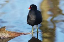 Free Moorhen Stock Photo - 566370