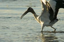 Free Walking Wood Stork Stock Image - 566471