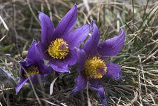 Pasque Flowers (pulsatilla Vulgaris) Stock Photo
