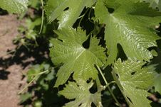 Free Closeup Of Grape Leaves Stock Photography - 566642