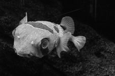 Free Fish In B&W Royalty Free Stock Photography - 566707