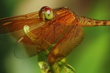 Free Golden Dragonfly Royalty Free Stock Image - 567906